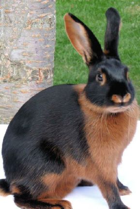 The TAN RABBIT breed comes in four colors.  This one is called Black Tan.  Chocolate Tan and Black Tan are often exhibited at shows.  Blue Tan and Lilac Tan are shown less often.