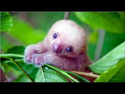 Something to take your mind of the elections:  TOO ADORABLE- Cute Baby Sloth Moments