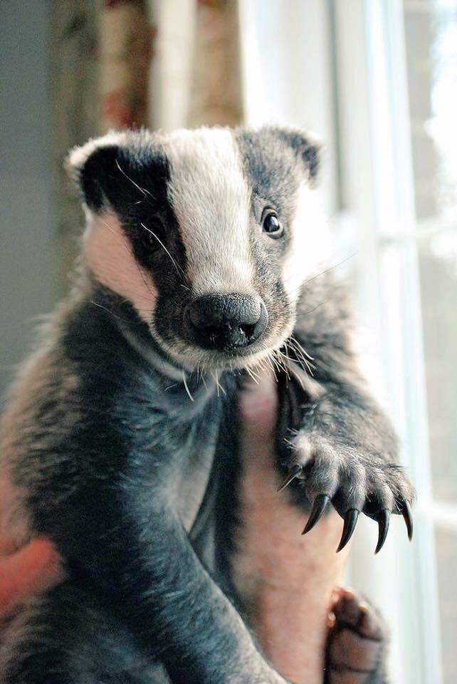 Tuffer On Cute Animals Baby Badger Animals Beautiful