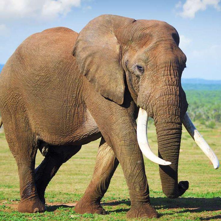 La altura de un elefante es equivalente a dos veces la circunferencia de su pie delantero. Aunque esto parece impreciso, los matemáticos han demostrado que es una manera muy razonable de estimar correctamente la altura. Generalmente, es cierto que la altura de un elefante es aproximadamente igual a seis veces el diámetro de la parte final de la pata. La longitud de la circunferencia se obtiene multiplicando el diámetro por Pi (~3,14). Por lo tanto: altura = 6 veces el diámetro del pie = 2 x…