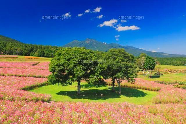 黒姫高原のコスモス畑と妙高山と木立 (c)Mitsushi Okada/a.collectionRF