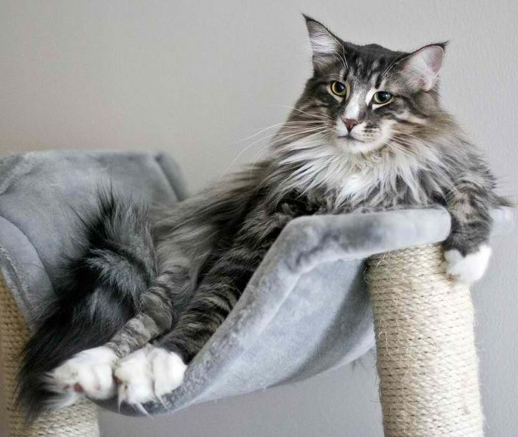 Норвежская лесная кошка.  Ценит своё пространство.