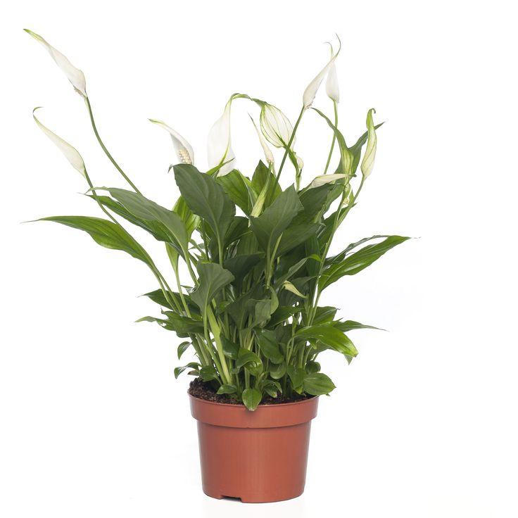 <p><strong>Herkomst</strong><br /> De Lepelplant (Spathiphyllum) komt van oorsprong uit de Amazone.<br /> </p>  <blockquote> <p>De Spathiphyllum is ook nog eens een goede aanwinst voor het binnenklimaat van je huishouden, hij helpt namelijk om de lucht te zuiveren. Hij zet CO2 om in zuurstof, haalt schadelijke stoffen uit de lucht en helpt mee om de luchtvochtigheid te verbeteren.</p> </blockquote>  ...