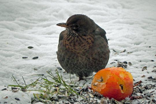 Achten Sie beim Kauf von Vogelfutter auf Qualität - für die Vögel und um Probleme wie Ambrosia zu vermeiden. Woran Sie gutes Futter erkennen.