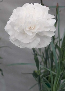 White carnations are traditional flowers to give or wear in honour and remembrance of a mother who is no longer living, on Mother's Day.