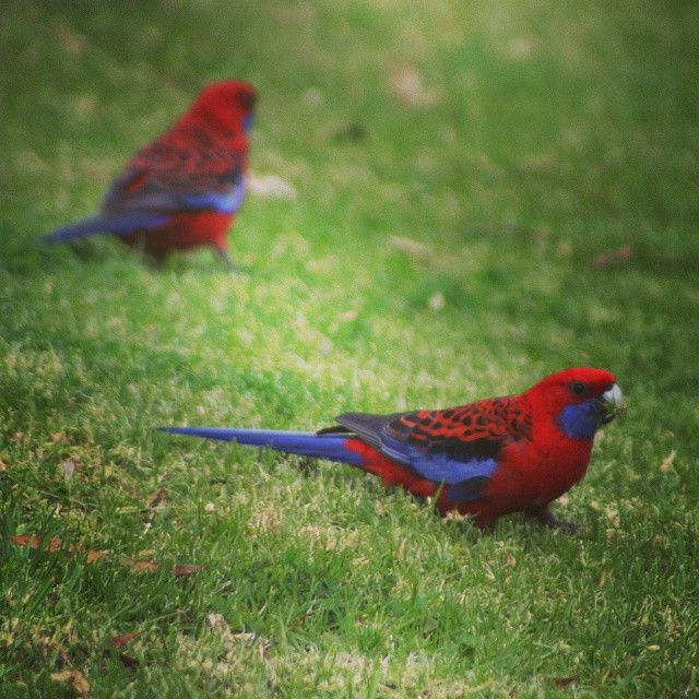 Resident Rosellas #backyardwildlife