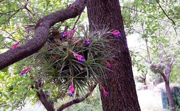 Sangrando en verde: Tillandsia aeranthos, el clavel de aire