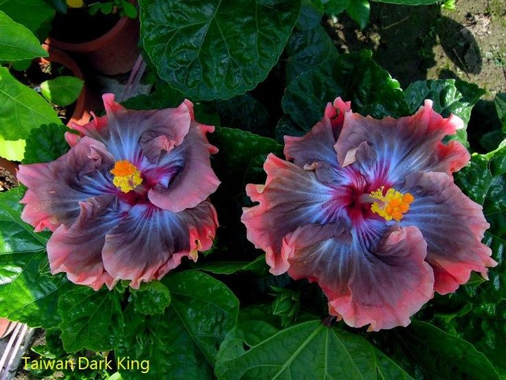 hibiscus Taiwan Dark King by Linda Lee, Hibiskus Wunder
