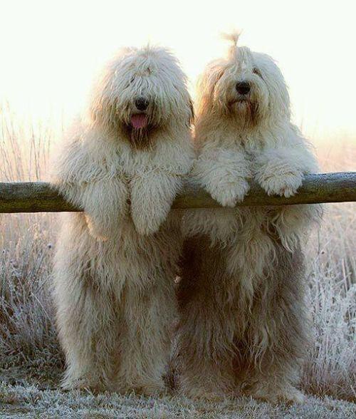 1lifeinspired: justbelieve2him: * ~ vieux chiens de berger anglais .. ... .enjoying la vue ~ * ♥ :)