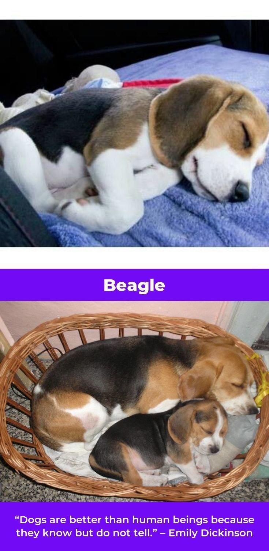 Beagle Puppies Beagleboy Beagles Names Beagle Puppy Beagle