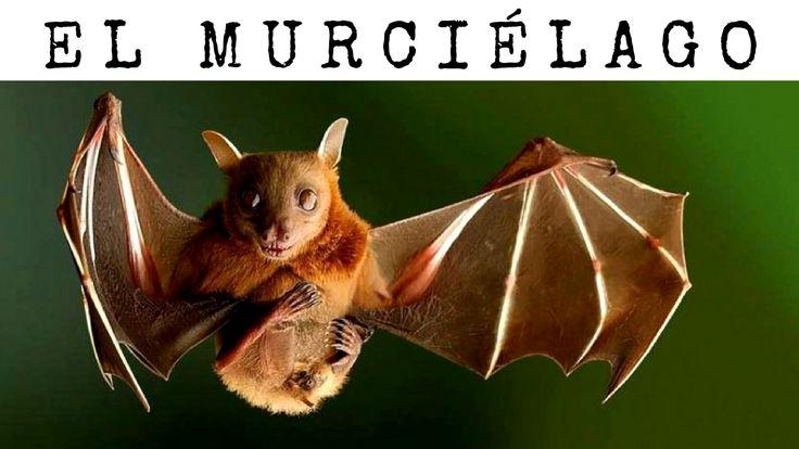 #MURCIÉLAGO: Este es uno de los #animales más misteriosos y extraños que existen. Aunque creas que, por sus grandes alas negras, puede ser un ave o un tipo raro de pájaro, no es así. Los murciélagos son #mamíferos.