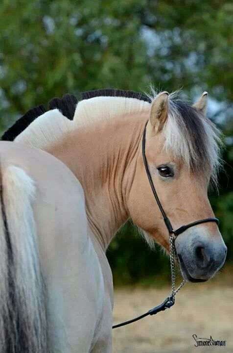 These horses are so beautiful! If I ever get a Norwegian Fjord, I would name him Sailor. We would compete in show jumping classes.