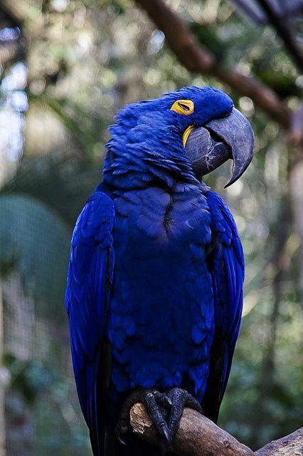 Beautiful hyacinth macaw at Parque das Aves in Parana ...