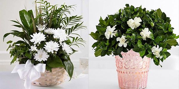 One can also send sympathy plants in the memory the person who passed away.