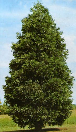 Incense cedar, Calocedrus decurrens, Tree Seeds (Hardy Fragrant Evergreen)