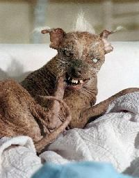 World's ugliest dog - http://dailyfunnypets.com/pictures/dogs-pics/worlds-ugliest-dog/ - World's ugliest dog  Image by Riude  - ugliest, World's