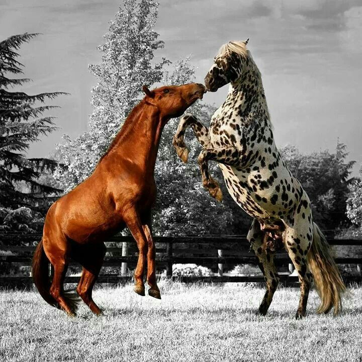 Sparring Stallions | Wes and Dotty Weber . Beautiful! Please check out my website, too.  www.JustForYouPropheticArt.com