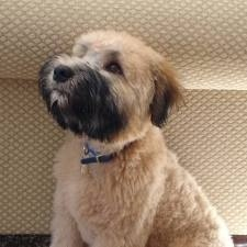 I love soft-coat Wheaton Terriers