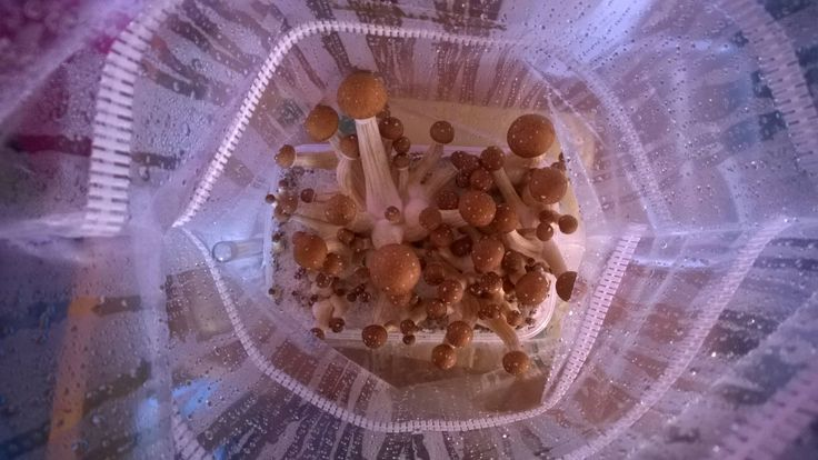 magic mushroom growkit from wholecelium webshop