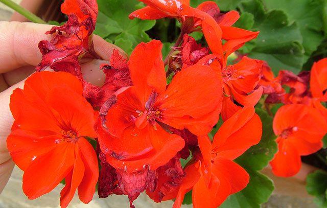 Sok-sok muskátli virágra vágysz? Akkor ezt mindenképpen meg kell tenned! - www.kiskegyed.hu