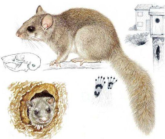 Le Loir est  2 fois plus gros que le Muscardin. Son pelage est gris à gris-brun avec des esquisses de raies dorsale foncées. Le dessous du corps est blanchâtre. Le pelage autour des yeux est légèrement plus foncé et il est blanc en dessous. Les yeux sont noirs et saillants. Sa tête est très légèrement ovale et ses oreilles sont rondes. La queue est grise et touffue. Il diffère des jeunes Écureuils gris par ses petites pattes postérieures.