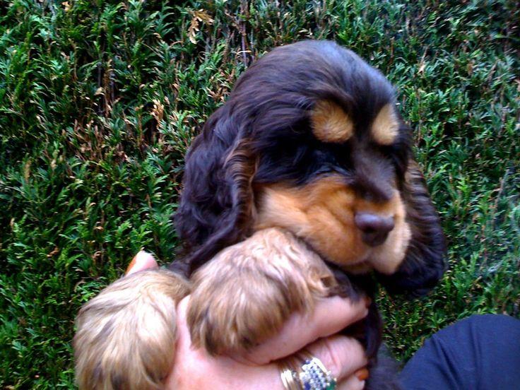 6 Cute Black and Tan Cocker Spaniel Puppies Photos All