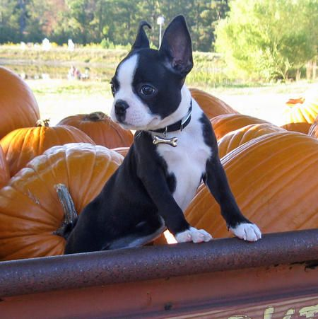 Bostie pup and pumpkins!!! these are awesome color contrast!!!! plus it is soo cute