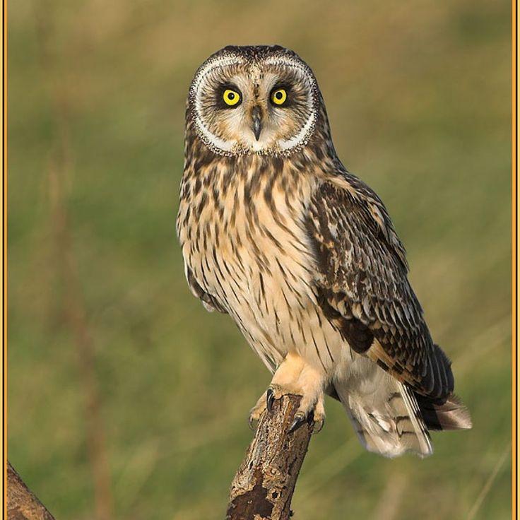 Short Eared Owl | World of Animal