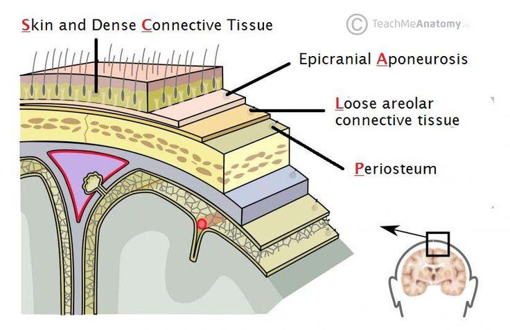 Related image Dura mater, Spinal fluid, Meningitis