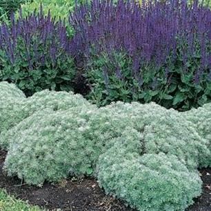 Artemisia schmidtiana Silver Mound - might put this under my Japanese maple.  So pretty & perennial.