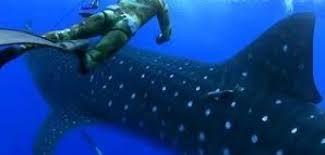 un requin baleine attaque un plongeur [video] - http://www.2tout2rien.fr/un-requin-baleine-attaque-un-plongeur-video/