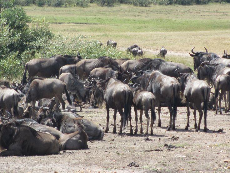 Wilderbeests start arriving in Masai Mara