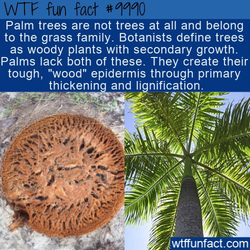 WTF Facts : funny, interesting & weird facts WTF Fun Fact – Palm… Grass?