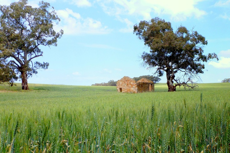 Wheat field out from Kapunda