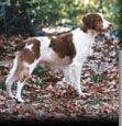 American Brittany Rescue - Training Tips