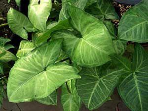 Фото Сингониума ножколистного (Syngonium podophyllum)