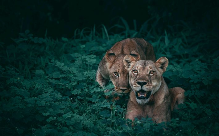 Download wallpapers lions, 4k, jungle, wildlife, predators