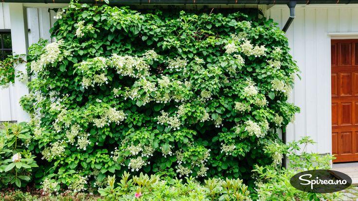 Vi har hatt en klatrehortensia i fem år, men den har aldri blomstret før. Men i år kom den endelig med to små blomster! Klatrehortensia er en fantastisk klatreplante som står i full blomst nå i juni-juli. For fem år siden plantet vi vårt eksemplar under et furutre som vi håpet at den ville klatre …