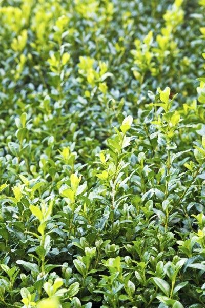 Boxwood Water Requirements: Tips - 72.1KB