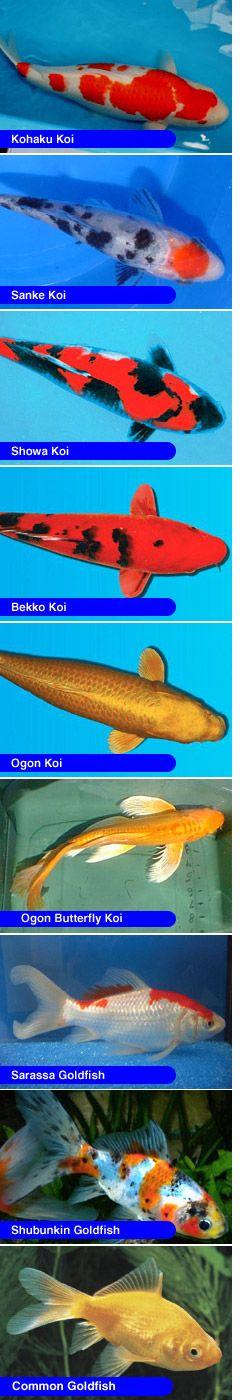 Picture of Koi & Goldfish.