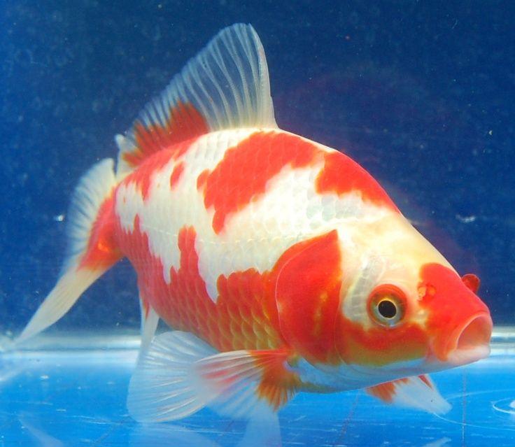 43 best goldfish pond images on pinterest aquarium fish for Outside goldfish pond
