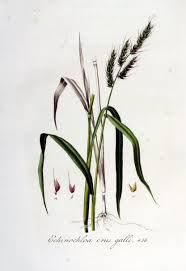 «echinochloa crus galli», utilisé comme céréale