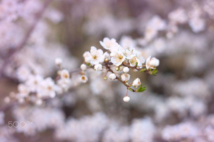 Spring blossoms - Spring blossoms