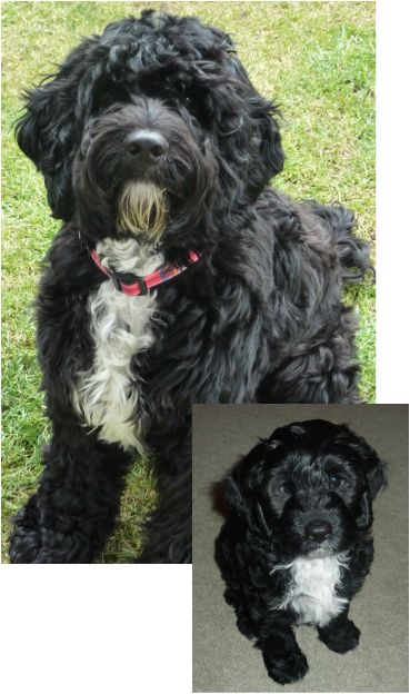 Cockapoo Before And After  Puppy Power  Razas De Perros -6370