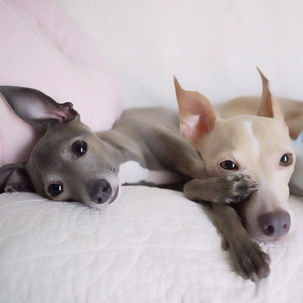 The slight and dainty Italian greyhound weighs in at just 6 to 15 pounds, making…