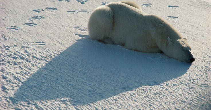 ¿A qué temperaturas viven los osos polares?. El oso polar es el carnívoro terrestre más grande de la Tierra, igualado únicamente por la subespecie alaskana del oso pardo, el Kodiak. El oso polar es el oso más carnívoro de todos. Los machos pesan cerca de una tonelada y alcanzan los 10 pies (3 metros) de nariz a rabo. Estos gigantes, que cazan focas, morsas y ballenas pequeñas y ...