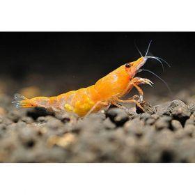 Freshwater Shrimp   Orange Halo/Sunkist Shrimp   Arizona Aquatic Gardens