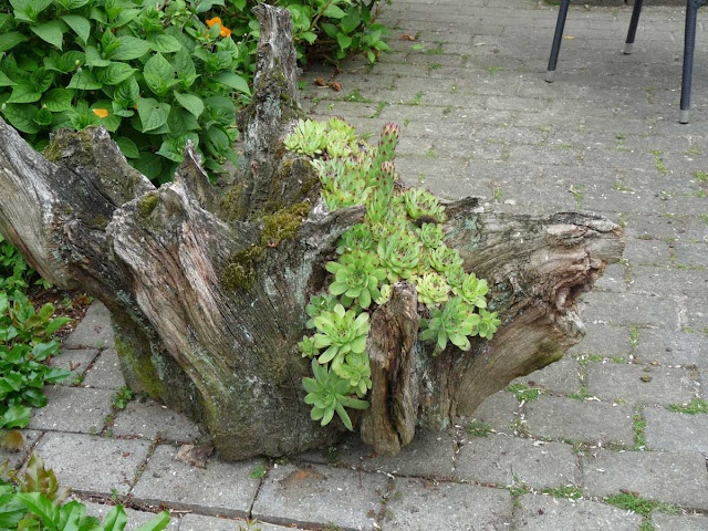 Succulents planted in an old tree stump: Green Things, Old Trees, Tree Trunks, Stumps Planters, Green Gardens, Succulent Plants, Trees Trunks Planters, Gardens Gates, Trees Stumps