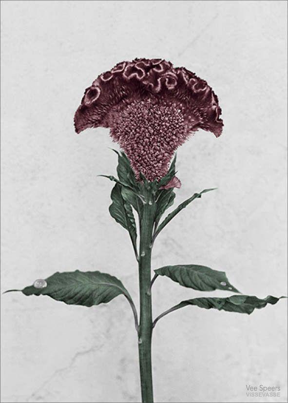 BOTANICA Celosia Cristata