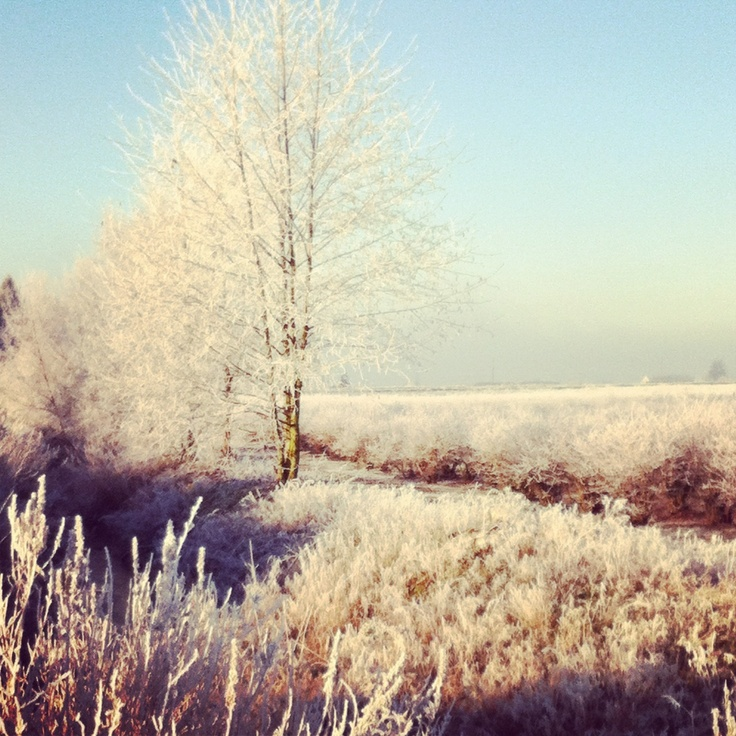 Hoarfrost in South Surrey / White Rock, BC.  iPhoneography.  iPhone photography.